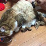 モフモフ猫ちゃんのサマーカットが可愛すぎて悶絶♡