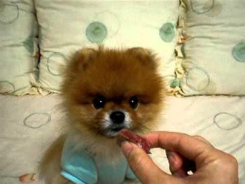 かわいく鳴くポメラニアン犬の動画♪