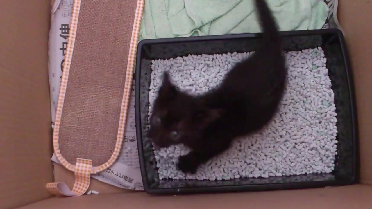 黒猫の赤ちゃんの鳴き声はかわいい♪