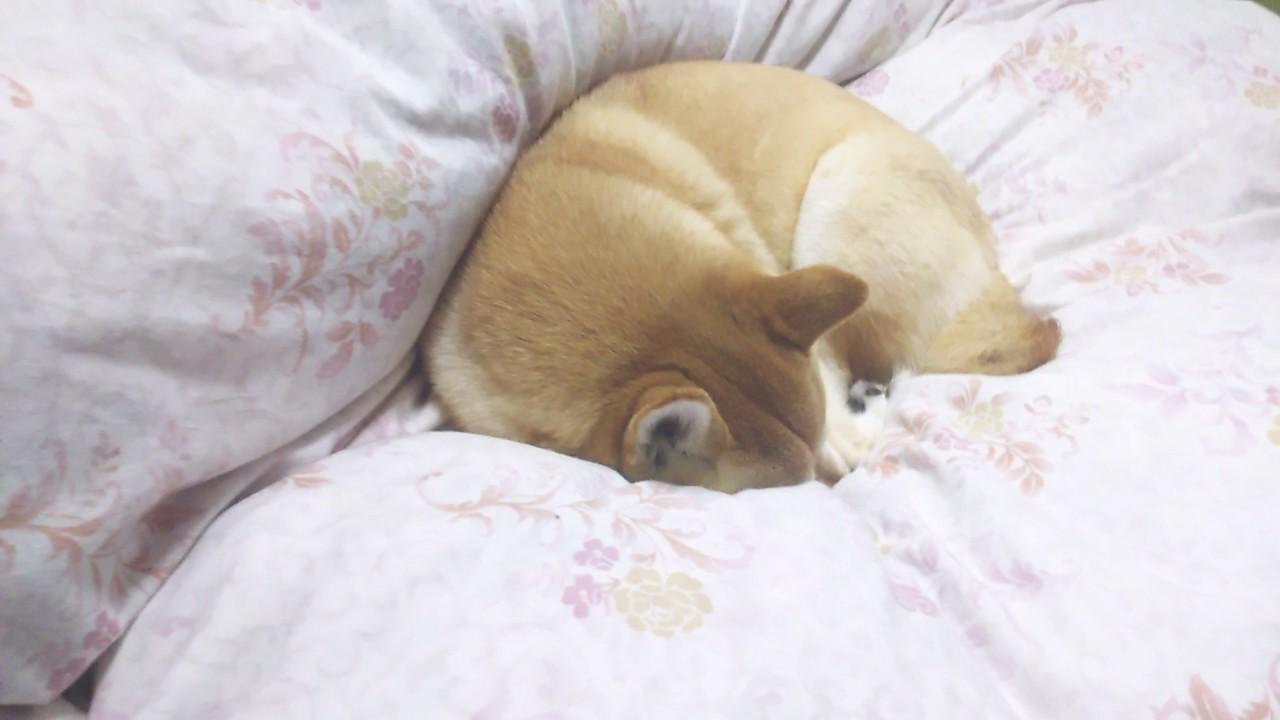犬が熟睡中に家族が帰宅した時の反応♪