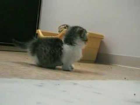 見てるだけで癒される短足マンチカンの子猫です♪