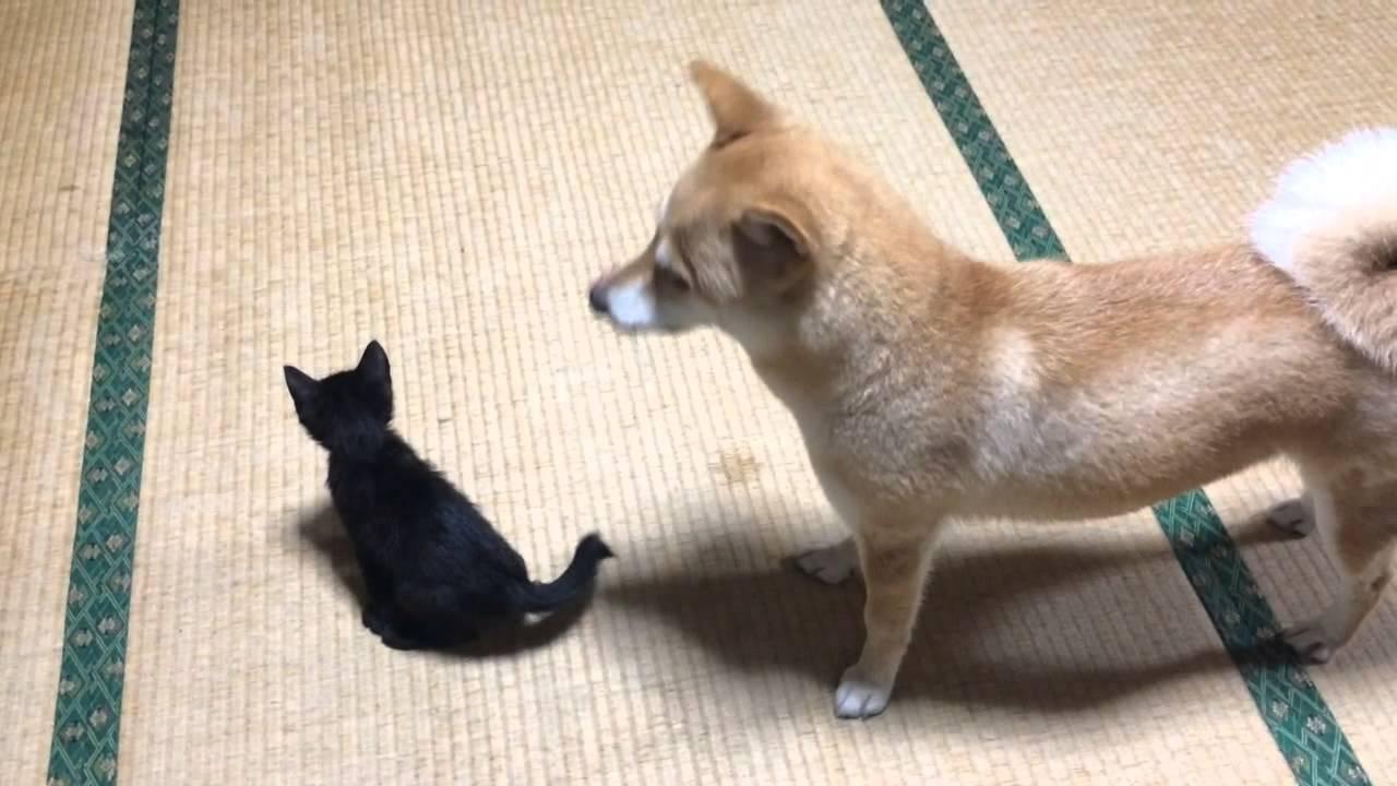 子猫のお守りをする柴犬♪