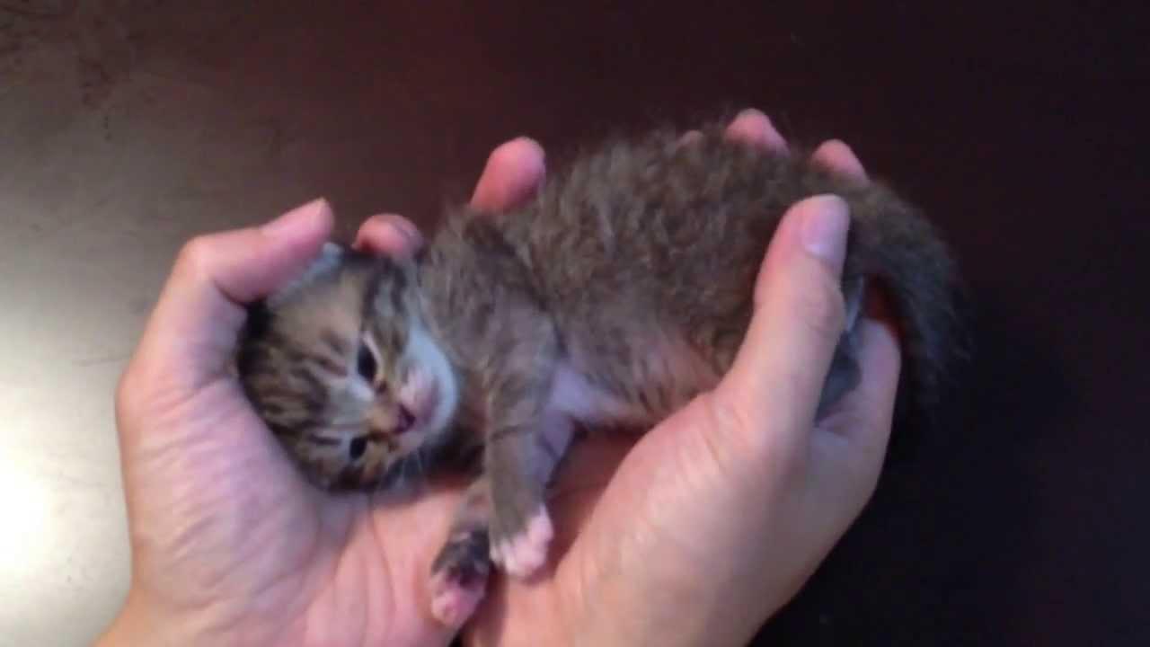 【かわぇぇ】手のひらでじゃれる子猫ちゃん