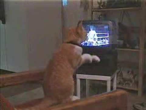 TVのボクシングに興奮してネコパンチ!
