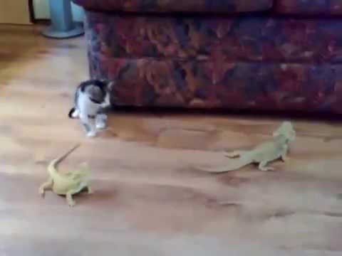子猫vsイグアナ!最後に驚いた子猫の反応がおもろー♪