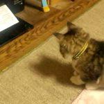 子猫vsプリンター!最後に勝つのは?!