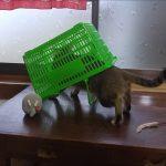 買い物かごは猫捕獲機ww