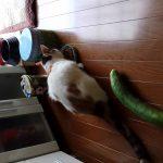 猫×きゅうりは最強の面白コンテンツかもww