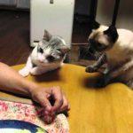 ご飯をお裾分けして欲しくておねだりする猫ちゃん♪