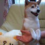 笑顔でおねだりする柴犬の動画♪