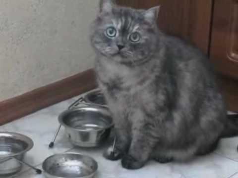 エサがないと目と鳴き声で訴える猫♪