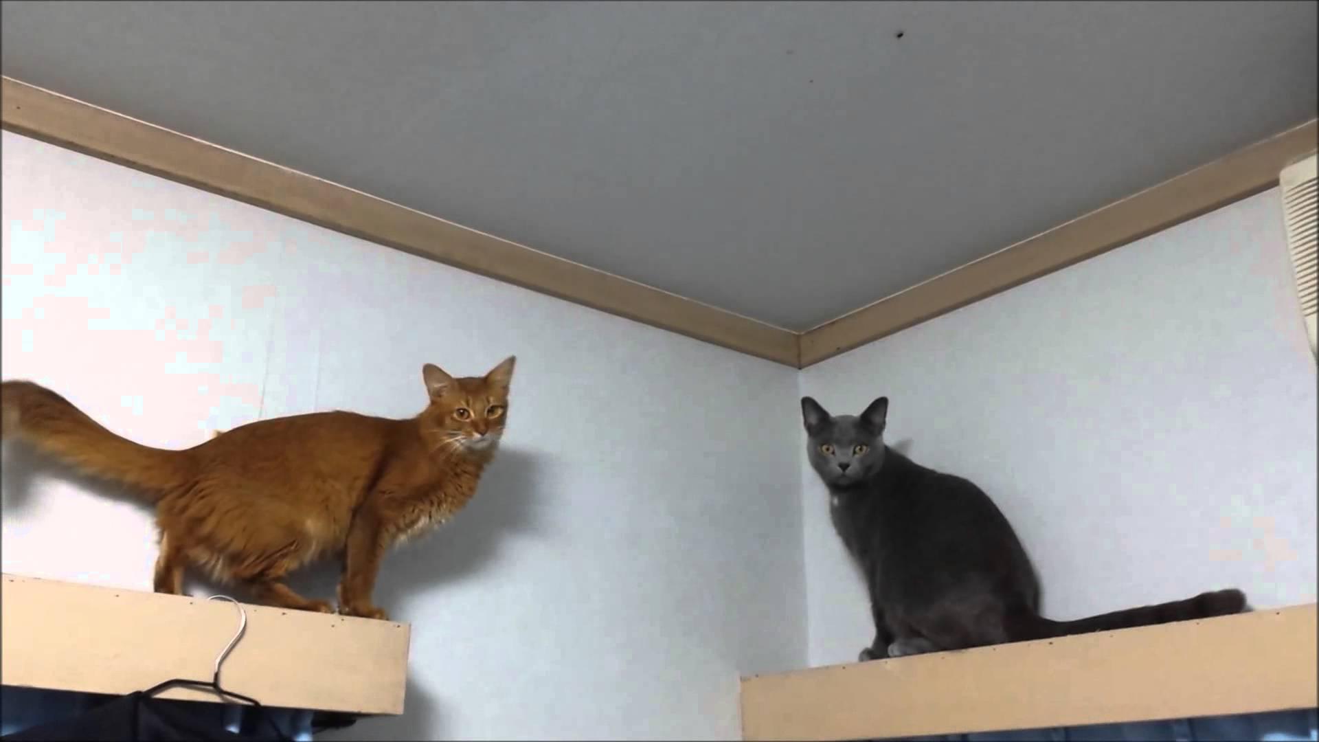 ソマリ猫のジャンプ失敗!動画最後のジャンプに注目せよww