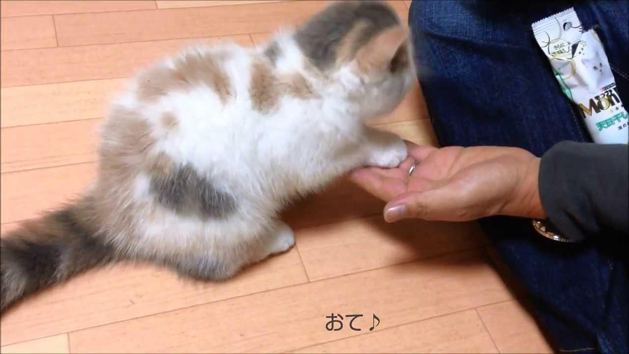 お手を覚えたエキゾチックショートヘアの子猫ちゃん♪