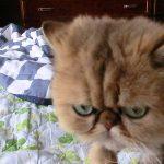 ブサ可愛いペルシャ猫の寝起き♪