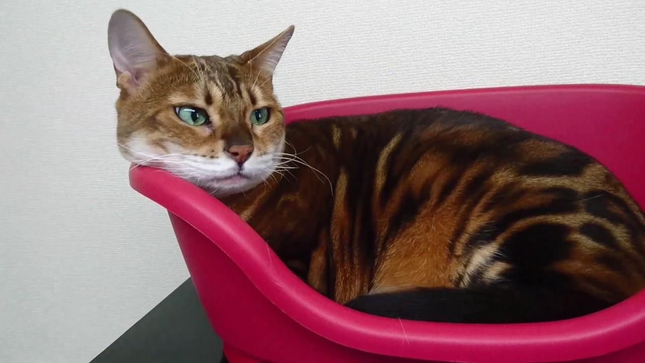 ベンガル猫の顎のせ姿が可愛い♪