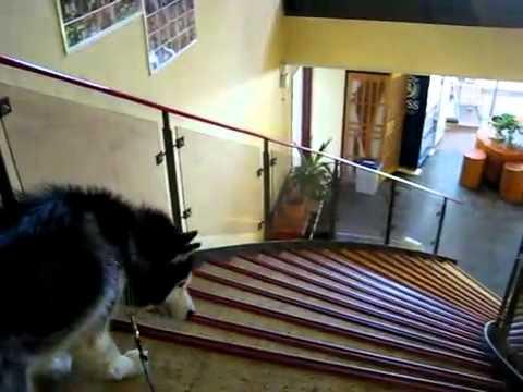 階段が怖くて降りれないシベリアンハスキー犬♪