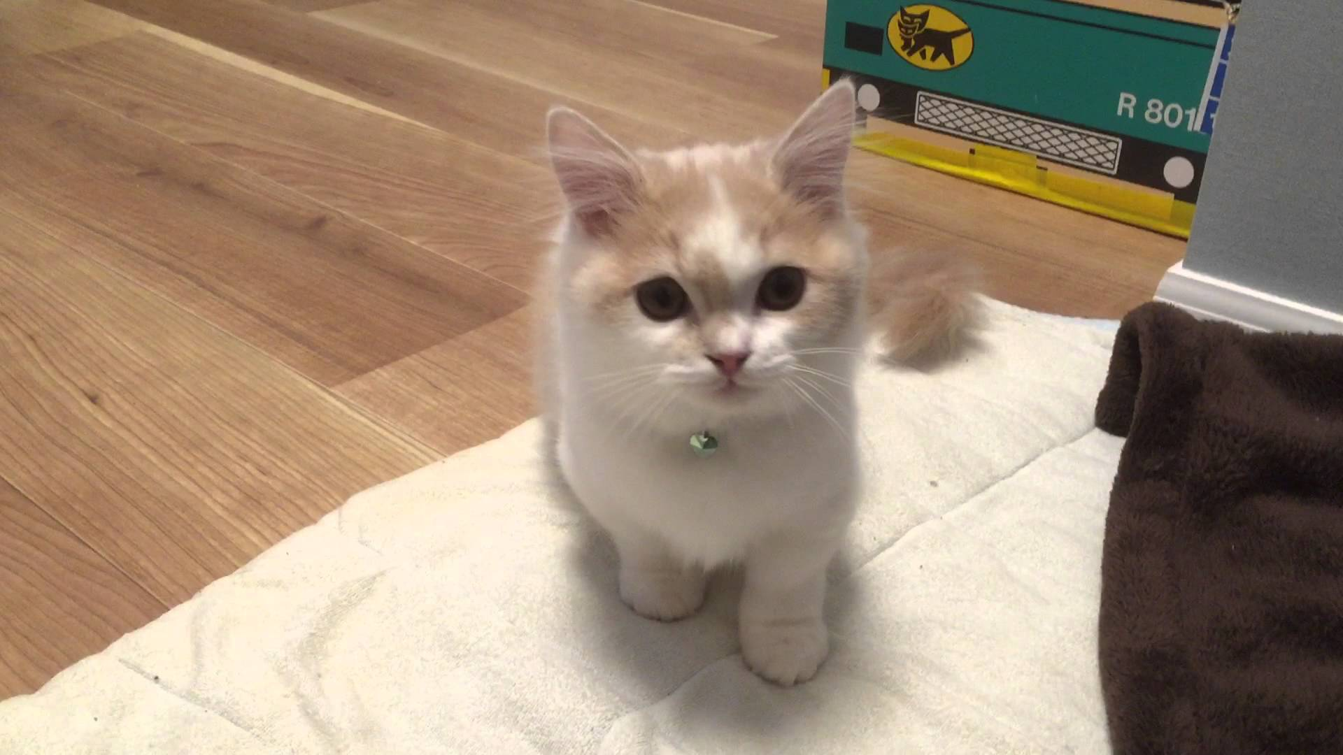 【キュン死】おやつが欲しくて悲しげに鳴くマンチカン猫♪