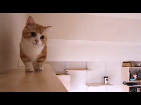 キャットタワーを巡回するマンチカン猫♪