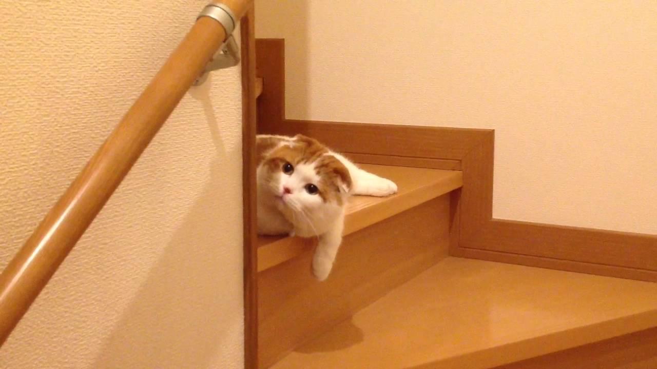 階段でくつろぐ癒しのスコティッシュフォールド猫♪