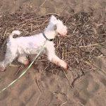 ミニチュアシュナウザー犬の初めての水辺♪
