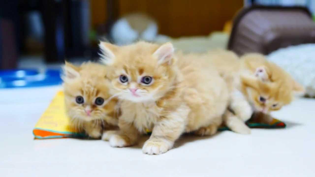 マンチカンプロレス!可愛い子猫がじゃれる動画♪