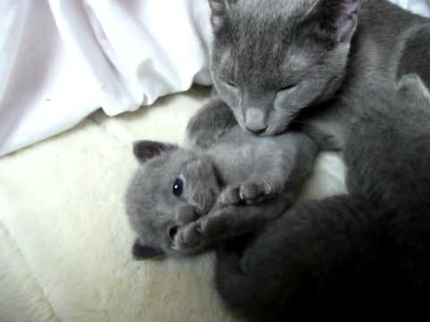 ロシアンブルーの可愛い母猫と子猫ちゃん