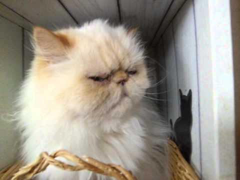 ぶさかわ猫のねむーい手で顔を拭う仕草に胸キュン♪