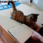 気分はジェットコースター?!段ボールのトランポリンを楽しむ猫