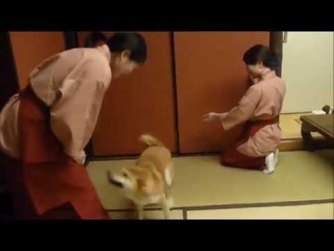 旅館の仲居さんに思いっきり甘える柴犬♪