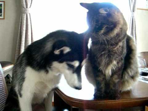 大人な猫に静かに諭されるやんちゃなハスキー犬の動画♪