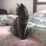 寝起きの可愛いロシアンブルー猫♪