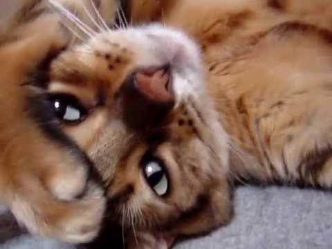 困ったニャー!困り顔でテレながら寝てるベンガル猫♪