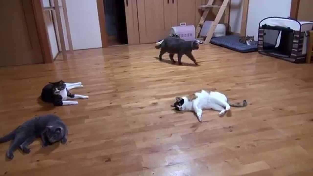 猫の可愛いジャンプ連発で飛び跳ねまくる動画♪