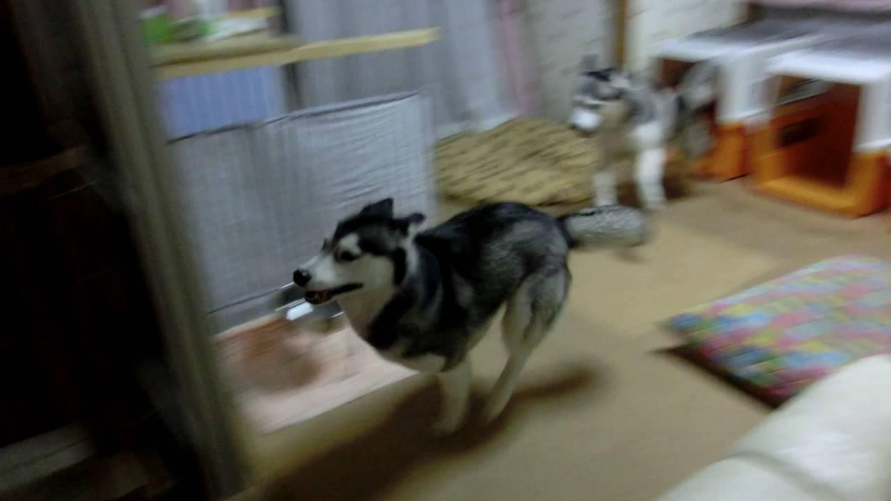 大人しくなんて出来ない!ご飯を待つシベリアンハスキー犬