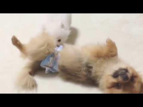 お兄ちゃんが大好きな子犬のポメラニアン動画♪