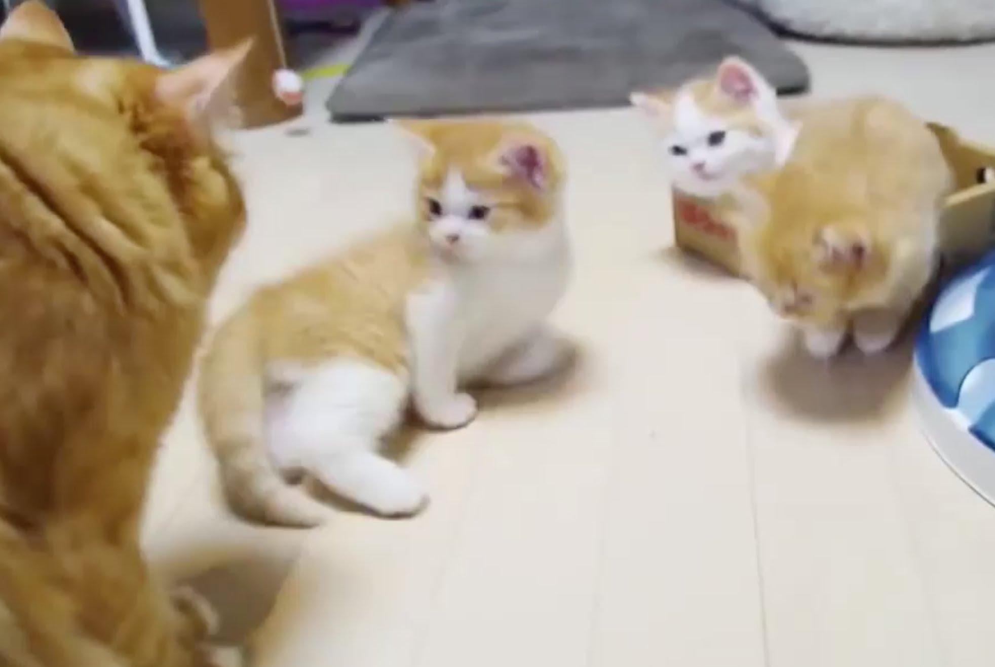 見ているだけで癒される!マンチカンの子猫の動画♪