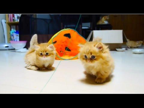 マンチカンの子猫ちゃん達の遊び姿が可愛い動画♪