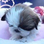 シーズー犬の可愛い子犬の動画♪