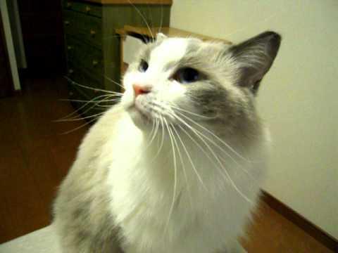 甘えるラグドール猫の可愛い鳴き声♪