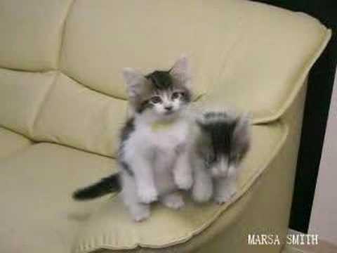 つぶらなメインクーンの子猫のおねだり動画♪