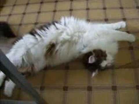 暑いと必死に訴えるメインクーン猫の動画♪
