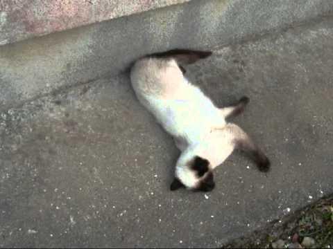 道路の上でクネクネ踊るシャム猫♪