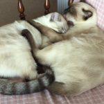 仲良く添い寝するシャム猫♪