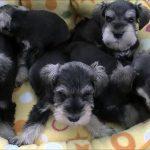 ミニチュアシュナウザーの可愛い子犬たちです♪