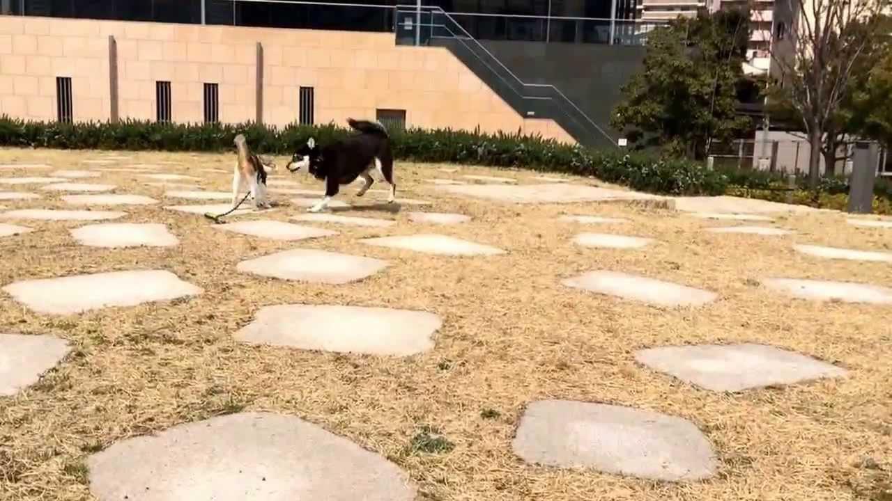 猫vs犬の走る走る動画です♪それにしてもどちらも速過ぎて目が回るww