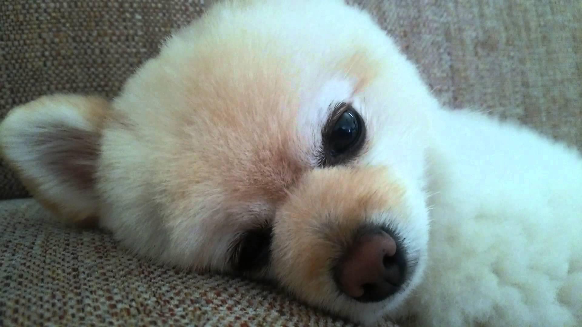 ソファーで人形のように眠るポメラニアンww