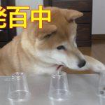 柴犬小春のスケルトンシャッフル10本勝負!