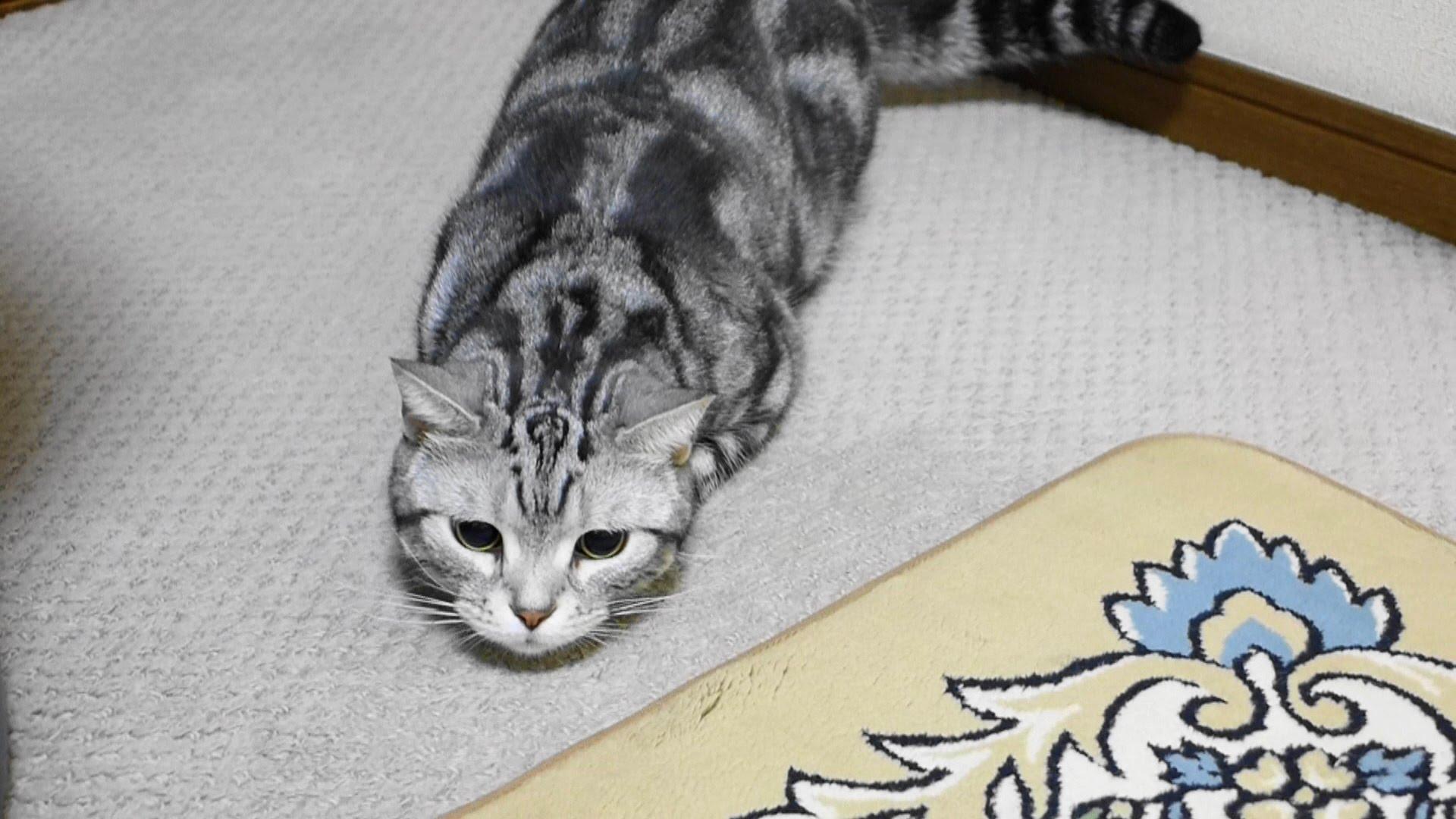 お尻をフリフリと獲物を狙うアメリカンショートヘア猫動画