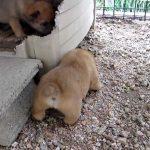 子犬が起き上がる姿に癒されます!