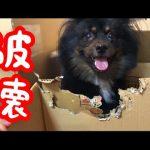 犬もストレス社会?!段ボールを破壊しまくる犬の動画ww